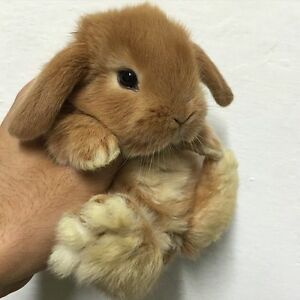 Adorable baby Mini Lop only 1 left! $200.00 Ready to go!