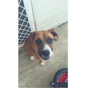 Mastiff x Boxer free to good home Raymond Terrace Port Stephens Area Preview