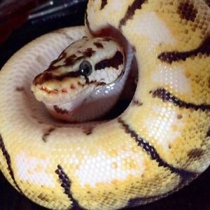Friendly BumbleBee Ball Python