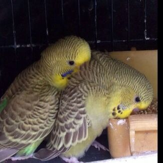 CINNAMON WING BABY BUDGIES SUPER CUTE !!! Narre Warren South Casey Area Preview