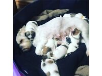 Lhasa apso pups- only 2 girls left