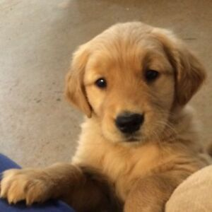 Golden Retriever Female Pup