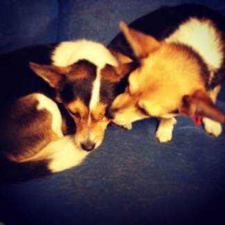 Two Chihuahua x Jack Russell dogs for sale Adelaide CBD Adelaide City Preview