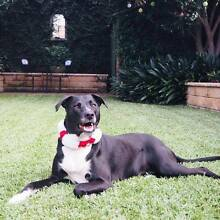 Help find a home for our amazing dog Poppy Belmore Canterbury Area Preview