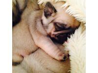 Stunning KC pug puppie for sale