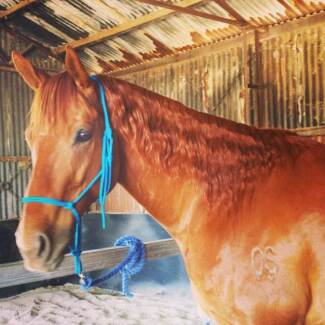 Stunning 9 yr old chestnut TB gelding Port Pirie Port Pirie City Preview