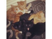 5 tabby kittens ready in three weeks