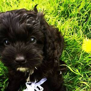 Tiny Toy Cavoodle Puppies Potty trained Cremorne North Sydney Area Preview