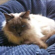 MISSING blue point ragdoll from Dulwich Hill Dulwich Hill Marrickville Area Preview