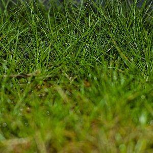 LIVE AQUARIUM PLANTS : MINI HAIRGRASS : (ELEOCHARIS ACICULARIS)