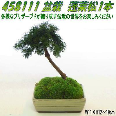 preserved bonsai Penglai pine one