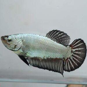 Koi & Black Dragon Halfmoon Plakat Betta Fish (Males & Females) Prince George British Columbia image 9