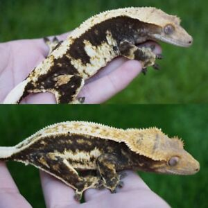 TWO RTB Adult Female Crested Geckos (SALE!!)