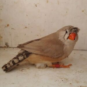 Any crested zebra finches out there?!?