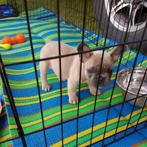 Girl French Bulldog For Sale