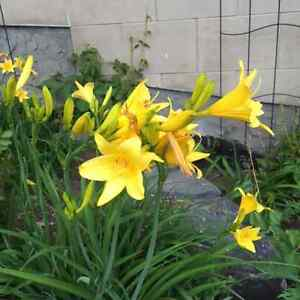Daylilies  - Healthy Perennial Flowers Ready to Plant!