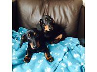 For sale miniature(rabbit size)dachshund boys