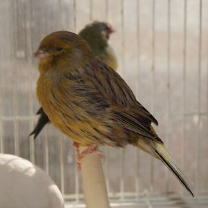 Gloster Canary