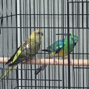 Breeding Red Rump Parakeet Pair For Sale