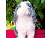 Various mini lop bunnies looking for homes