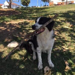 Border Collie needs a secure yard for 8 weeks Toowong Brisbane North West Preview
