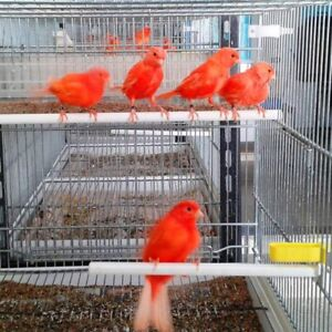 Red factor canaries (intensive and frosted stock)