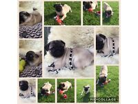 Beutiful Pug Girl