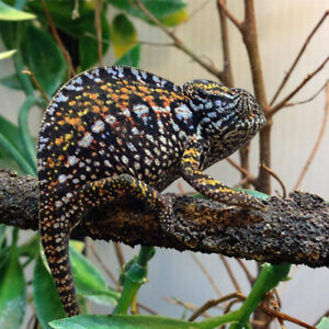 Madagascar Carpet Chameleons