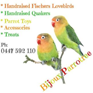 💕💕💕 Handraised Fischers Lovebirds, love cuddles & attention 💕💕💕