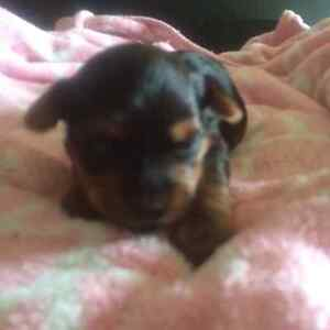 Yorkshire Terriers For Sale!!!!