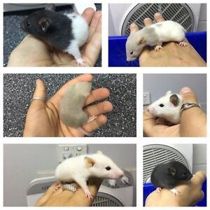 Rat Mania $10 Adult, $8 Babies, $25 Care Kits Raymond Terrace Port Stephens Area Preview