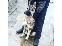 german shepherd 6 month old pup dog puppy kennel club regestered