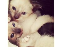 Half Siamese kittens for sale