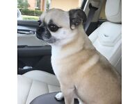 mini pug x great with kids fully house trained
