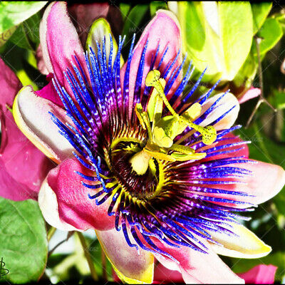 Passion Vine Seeds - Beautiful Flowers m- Grows Fast- 8 Seeds - Comb. S/H Growing Passion Flower Vine