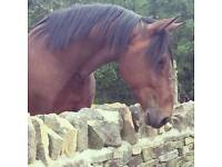 Project Standardbred for sale