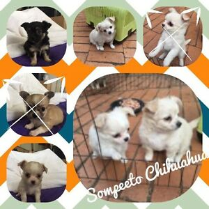 pure breed chihuahuas pedigree registered Coominya Somerset Area Preview