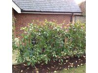 Hedge Plants - Photinia Serrulata Red Robin (x20)