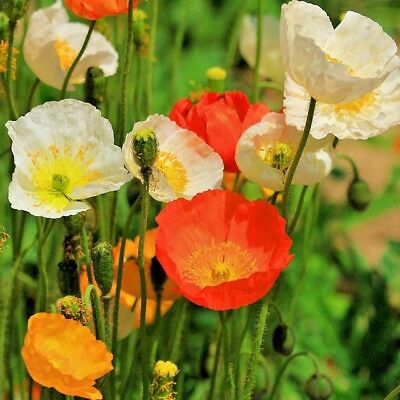 2000+ ICELAND POPPY MIX Seeds Scarlet White Tangerine Gold Apricot Pink Flowers