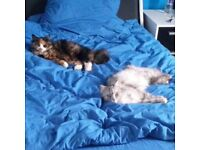 Missisind pedigrew cat in Sedill. CASH REWARD