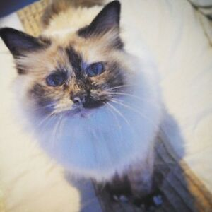 Wanted: Birman Cat  older than 12 years Hobart CBD Hobart City Preview