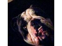 English Bulldog. 5 Months Old