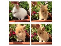 Very friendly purebred lionhead baby rabbits