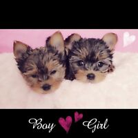 ❉❉❉❉~ MORKIE BEAUTIES! NO SHED / HYPO ALLERGENIC! ~❉❉❉❉