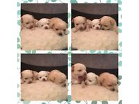 ** kc registered smooth coat chihuahua puppies **