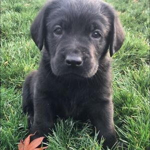 Black English Labrador Retriever puppies CKC registered