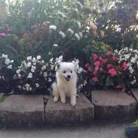 Australian Pomeranian puppies only two left