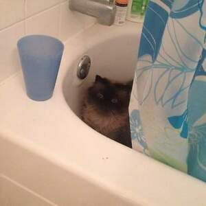Beautiful cat looking for a home Kitchener / Waterloo Kitchener Area image 3