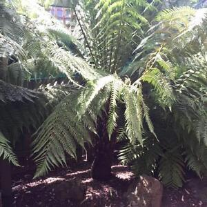 4 x Tree Fern Plants in beautiful condition, starting at $50 each Wantirna South Knox Area Preview