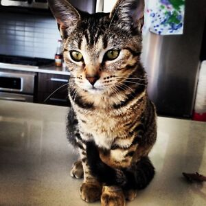 savannah/bengal needing a forever home